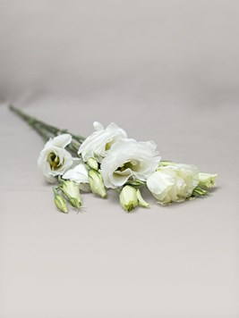 Funeral : Single White Lisianthus Stem
