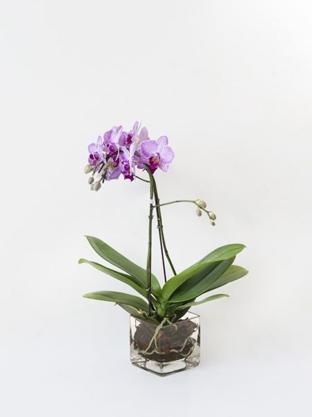 Plants: Mini Orchid