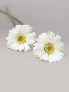 Funeral : Single White Gerbera Stem