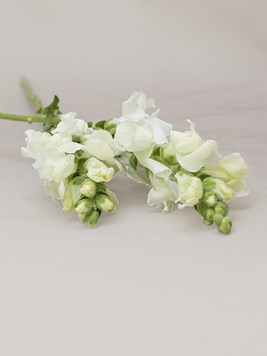 Funeral : Single White Snapdragon Stem